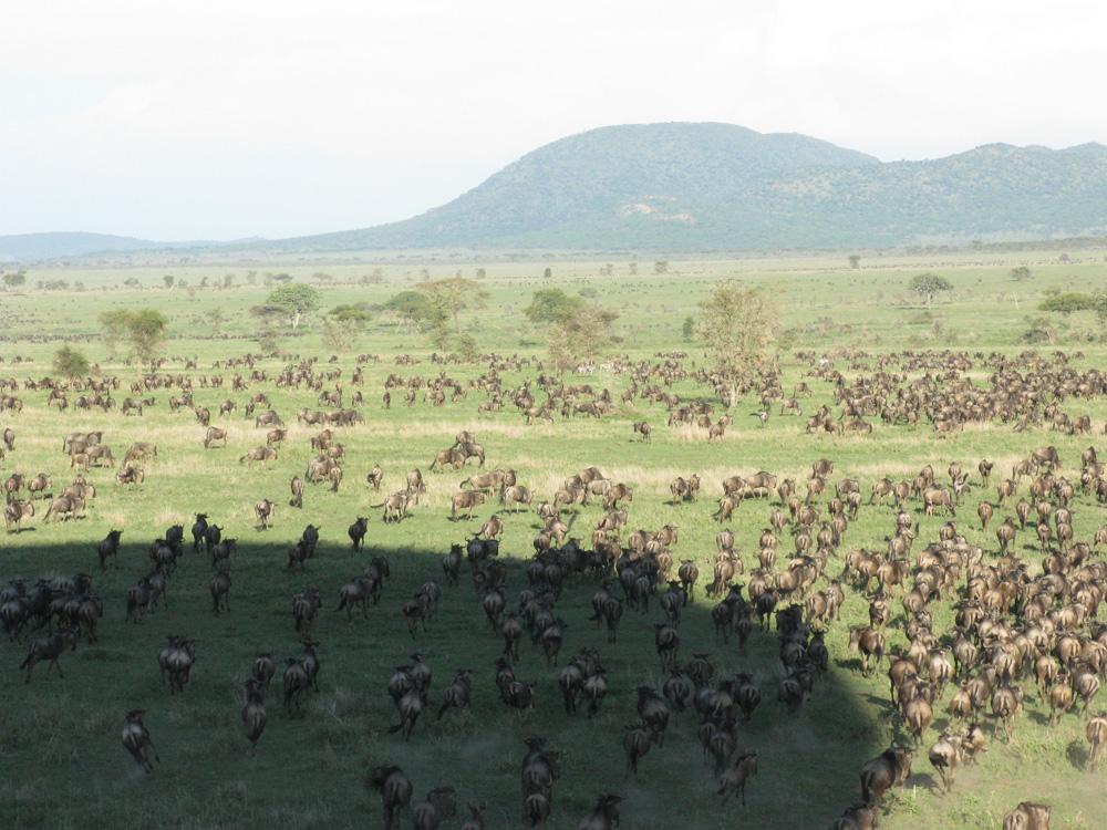 wildebeest-in-serengeti-lg